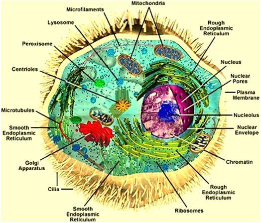 Aufbau einer menschlichen Zelle